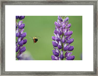 Bee On Lupine 2 Framed Print