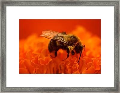 Bee On Orange Flower Framed Print