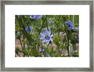 Bee On Romaine Flower Framed Print by Donna Munro