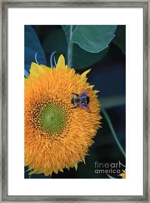 Bee On Teddybear Sunflower 2012 Framed Print by Marjorie Imbeau