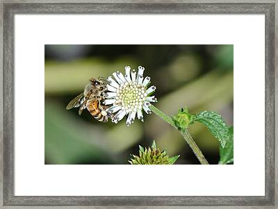 Framed Print featuring the photograph Bee On White Clover by Jodi Terracina