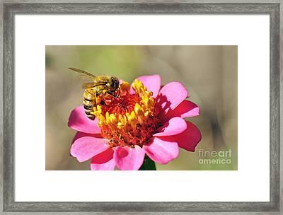 Bee On Zinnia Flower Framed Print