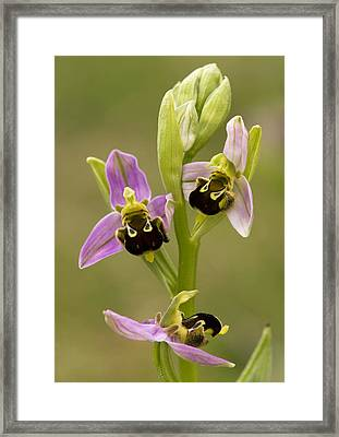 Bee Orchid (ophrys Apifera) Framed Print