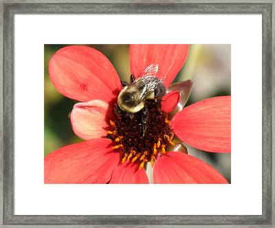 Bee With Flower Framed Print by Kimberly Mackowski