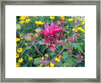 Beebalm Flower Framed Print