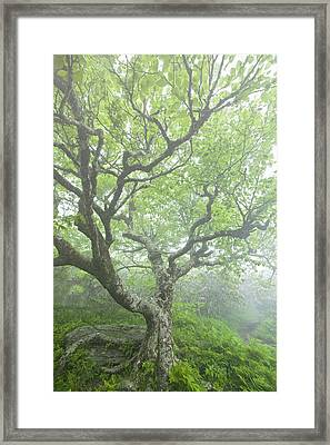 Beech At Craggy Framed Print by Rob Travis