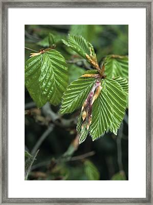 Beech Leaves Framed Print by David Aubrey