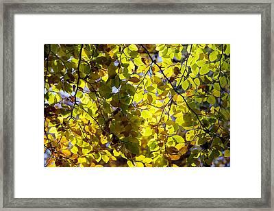Beech Tree Foliage Framed Print by Dr Keith Wheeler