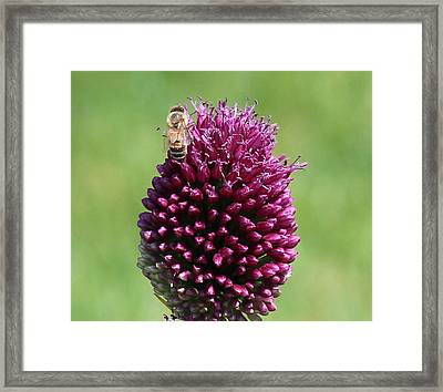 Bee's Delight Framed Print by Janet Mcconnell