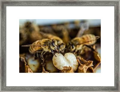 Bees Tending Larva Framed Print by James Bull