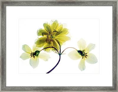 Begonia Sp. 'apricot Cascade' Flowers Framed Print by Dr Keith Wheeler