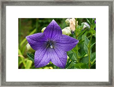 Bell Flower Blossom 1 Framed Print by Douglas Barnett