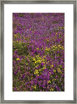 Bell Heather (erica Cinerea) Framed Print by Dr Keith Wheeler