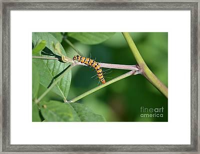 Bella Moth Caterpillar  Framed Print by Kathy Gibbons