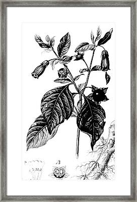 Belladonna, Alchemy Plant Framed Print by Science Source