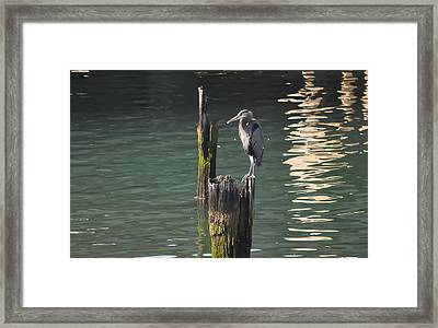 Framed Print featuring the photograph Bellingham Heron by Ronda Broatch