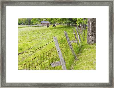 Belted Galloway Cows Farm Rockport Maine Framed Print