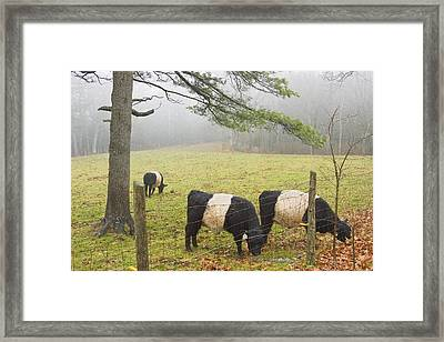 Belted Galloway Cows On Farm In Rockport Maine Photograph Framed Print by Keith Webber Jr