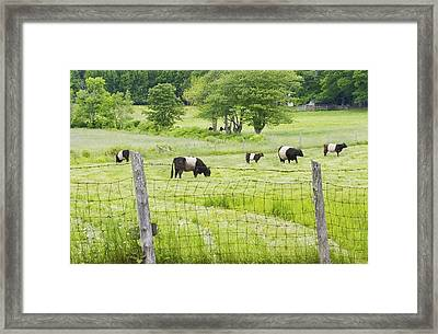 Belted Galloway Cows On  Farm Rockport Maine Photo Framed Print by Keith Webber Jr