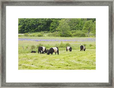 Belted Galloway Cows Pasture Rockport Maine Photograph Framed Print