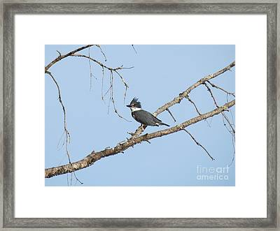 Belted Kingfisher Framed Print by Gayle Swigart