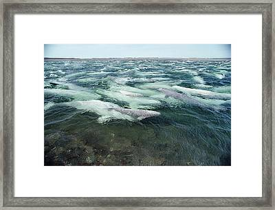 Belugas Swimming And Molting Framed Print by Flip Nicklin