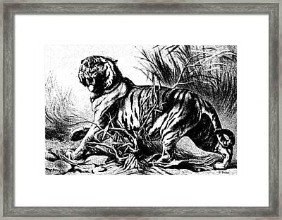 Bengal 2 Framed Print