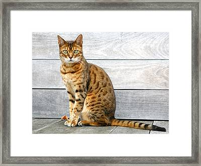 Bengal Cat Sitting On Weathered Deck Framed Print