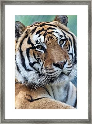 Bengal Framed Print by Elizabeth Hart