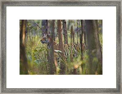 Bengal Tiger  17-month Old Framed Print by Richard Packwood
