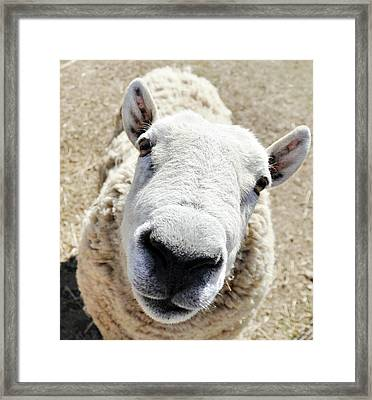 Benny The Sheep Framed Print