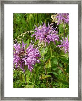 Bergamot Framed Print