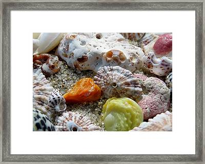 Bermuda Beach Shells Framed Print by Janice Drew