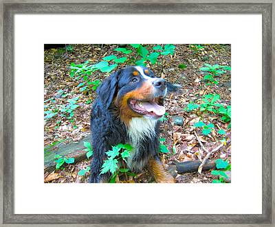 Bernese In The Woods Framed Print