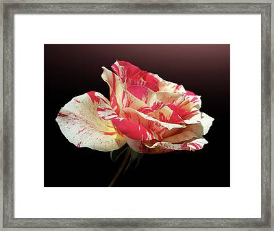 Bi-colored Rose Framed Print