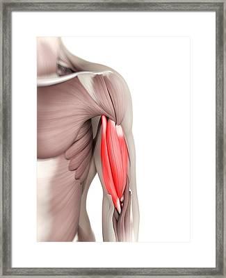 Biceps Muscle, Artwork Framed Print by Sciepro