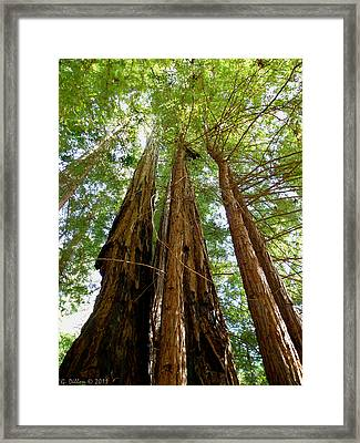 Big Basin Redwoods State Park Framed Print