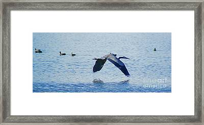 Framed Print featuring the photograph Big Blue Heron Flying Away From Me by John  Kolenberg