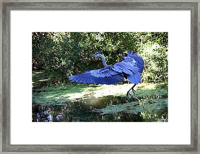 Big Blue In Flight Framed Print