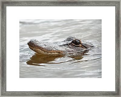 Big Eyes Baby Gator Framed Print by Carol Groenen