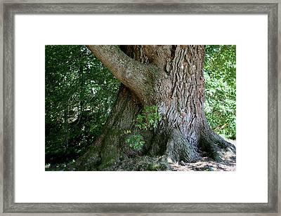 Big Fat Tree Trunk Framed Print