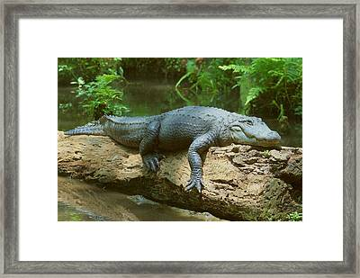 Framed Print featuring the photograph Big Gator On A Log by Myrna Bradshaw