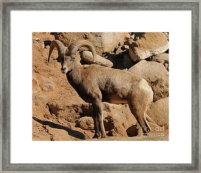 Big Horn Framed Print by Marc Bittan