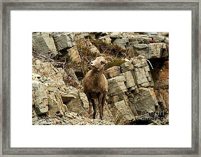 Big Horn On The Rocks Framed Print by Adam Jewell
