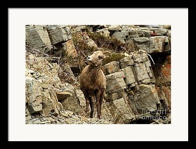 Sheep On Rocks Framed Prints