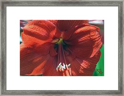 Big Red Framed Print by Kelly Rader