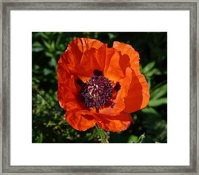 Framed Print featuring the photograph Big Red Poppy by Lynn Bolt