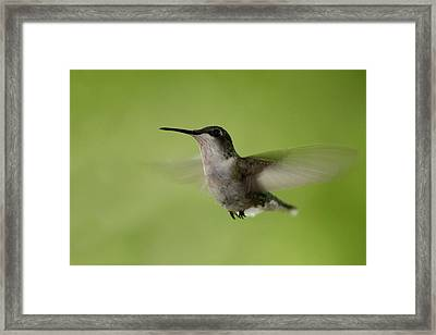 Big Star Humming Bird Framed Print by Dean Bennett