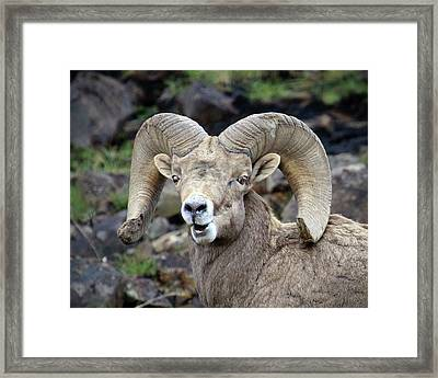 Framed Print featuring the photograph Bighorn Giant by Steve McKinzie