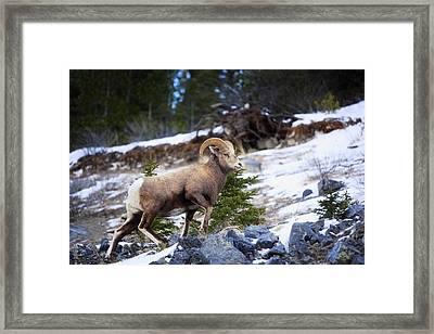 Bighorn Sheep Climbing Snowy Rocky Hill Framed Print by Richard Wear